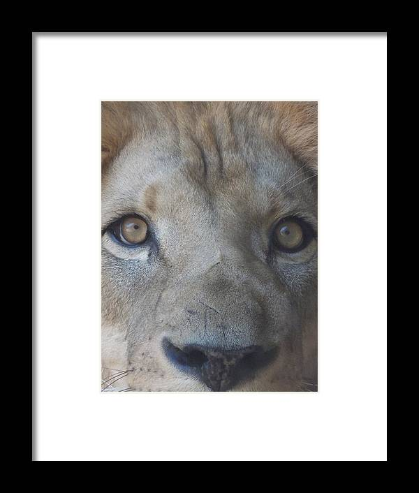 Lion Framed Print featuring the photograph Those Lion Eyes by Gail Ledford