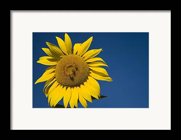 3scape Photos Framed Print featuring the photograph Three Bees And A Sunflower by Adam Romanowicz