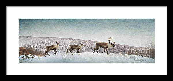 Animal Framed Print featuring the photograph Three Caribous by Priska Wettstein