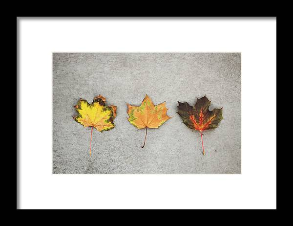 Three Fall Colored Maple Leafs On Framed Print By Carolin Voelker