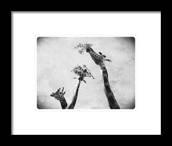 Zoo Framed Print featuring the photograph Three Giraffes 2 by Dan Kerr