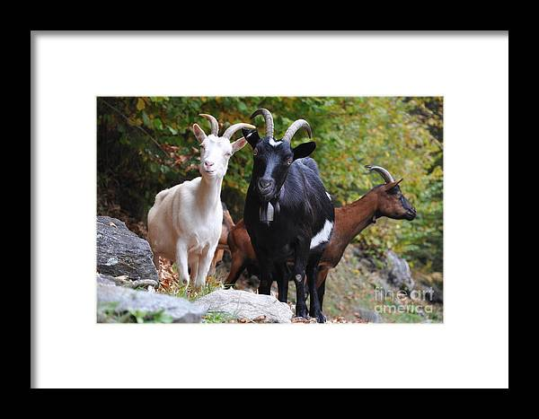Three Framed Print featuring the photograph Three Goats by Mats Silvan