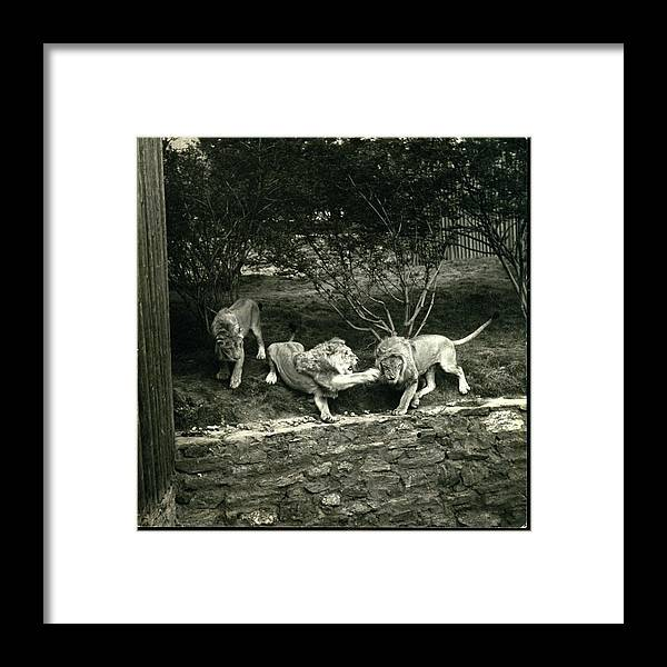Bronx Zoo Framed Print featuring the photograph Three Lions At The Bronx Zoo In New York by Toni Frissell