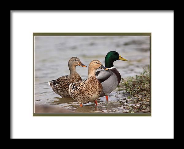 Mallards Framed Print featuring the photograph Three Mallards Card - Ducks by Travis Truelove