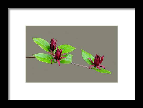 Flowers Framed Print featuring the photograph Three Of A Kind by Dave Hrusecky