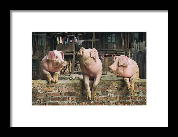 Pig Framed Print featuring the photograph Three Pigs Having A Chat In A Remote by Mediaproduction
