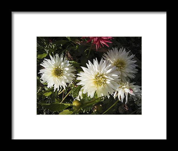 Dahlia Framed Print featuring the photograph Three White Dahlias by Nafets Nuarb