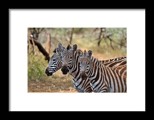 Zebra Framed Print featuring the photograph Three Zebras by Mark Rasmussen