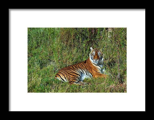 Tiger Framed Print featuring the photograph Tiger In The Grass by Evelyn Harrison
