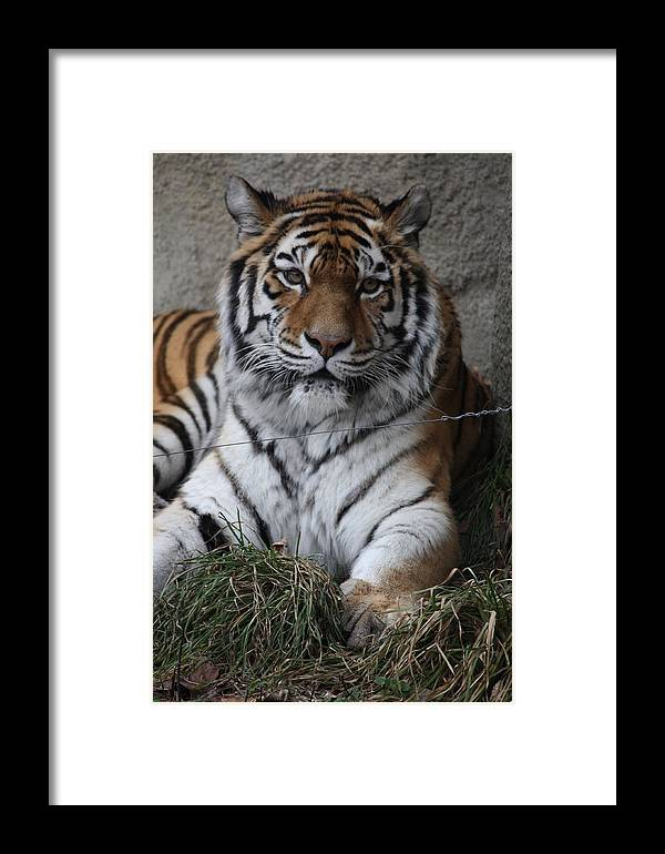 Tiger Framed Print featuring the photograph Tiger Waits by Paula Thomas