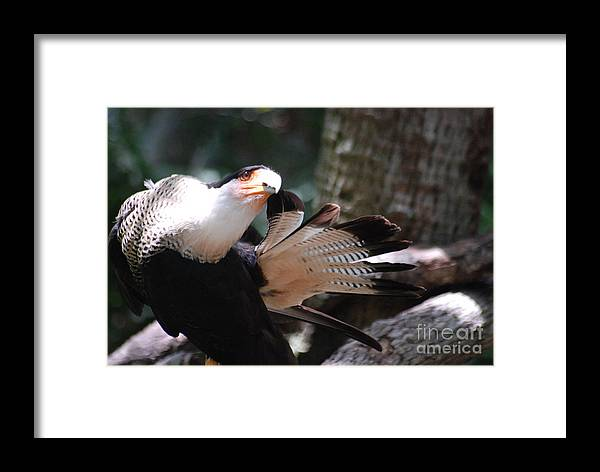 Caracara Framed Print featuring the photograph Time To Clean by Tom Williams