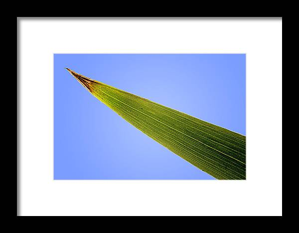 Leaf Framed Print featuring the photograph Tip Of An Iris Leaf Isolated On Blue by Donald Erickson