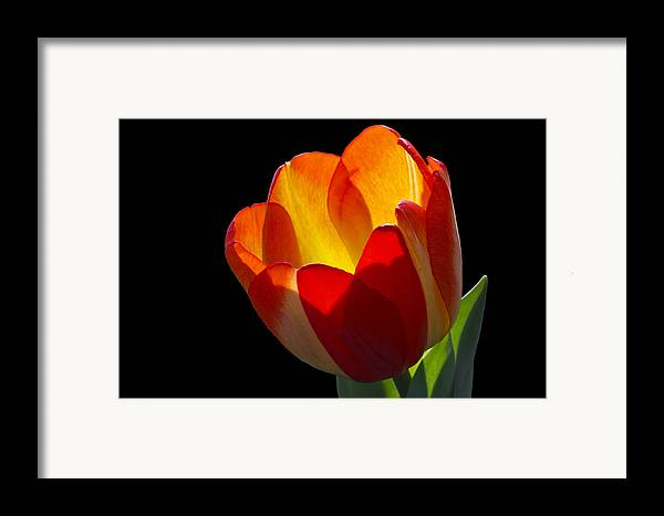 Tulip Framed Print featuring the photograph Tippy by Doug Norkum