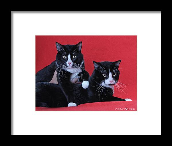 Tuxedo Cats Print Framed Print featuring the photograph Together by Kimber Butler