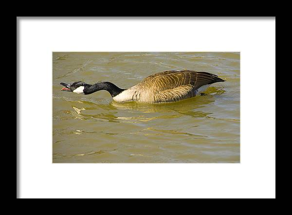 Tulsa Photographs Framed Print featuring the photograph Tongue In Goose I by Vernis Maxwell