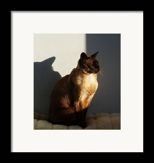 Tonkinese Framed Print featuring the photograph Tonkinese Sunlit Nap by Margaret Saheed