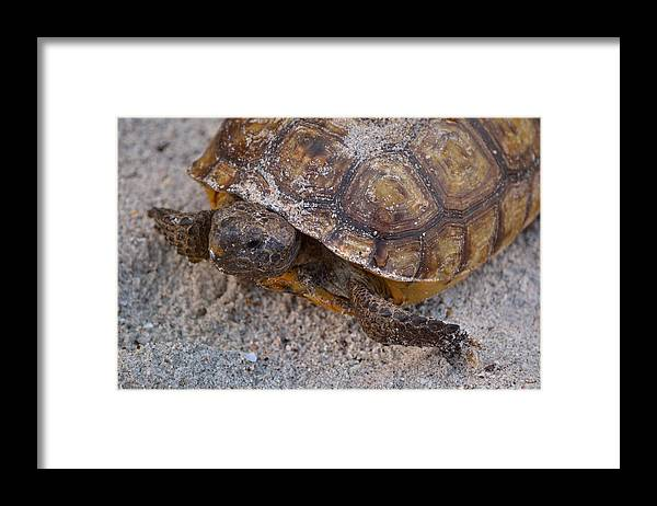 Gopher Tortoise Framed Print featuring the photograph Tortoise By Nature by Patricia Twardzik