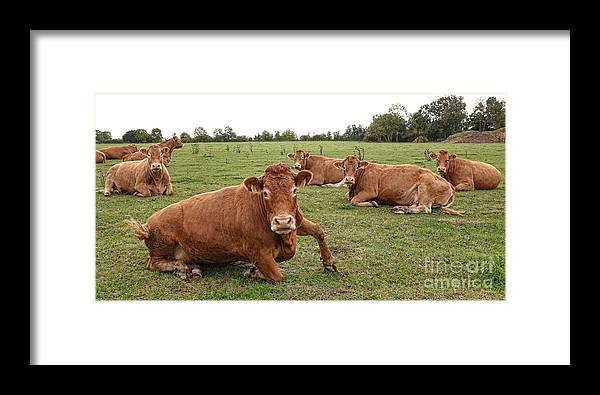 Cow Framed Print featuring the photograph Tough Cows by Olivier Le Queinec