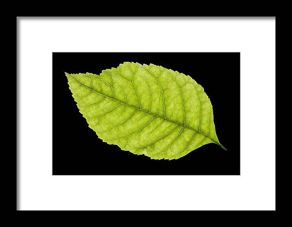 Leaf Framed Print featuring the photograph Tree Leaf by Donald Erickson