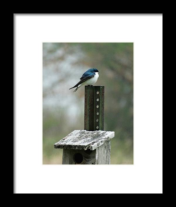 Tree Swallow Framed Print featuring the photograph Tree Swallow by Brenda Conrad
