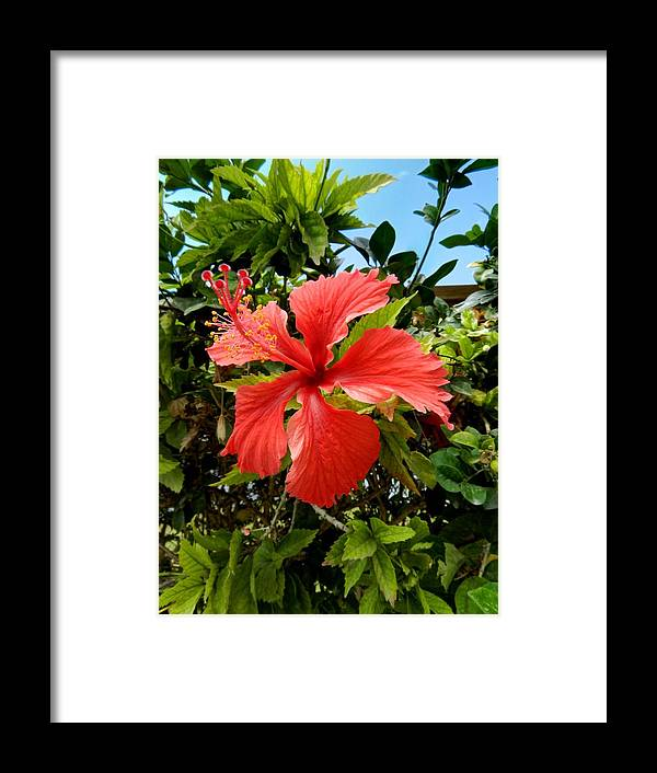 Flower Framed Print featuring the photograph Tropical Hibiscus 002 by Lance Vaughn