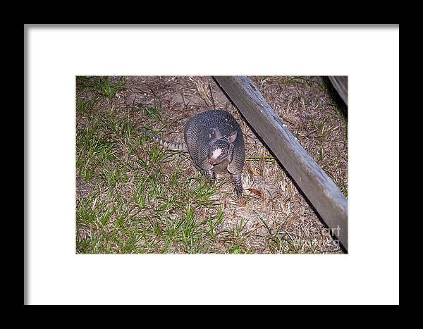 Schulenburg Texas Armadillo Armadillo Animal Animals Creature Creatures Framed Print featuring the photograph Trouble by Bob Phillips