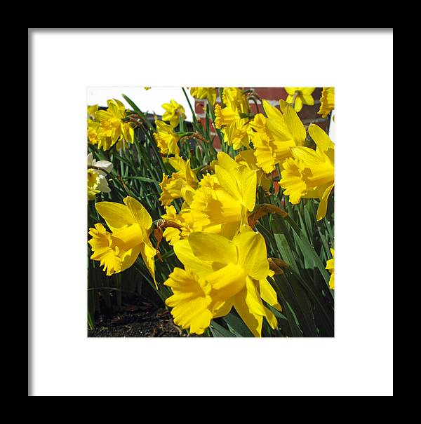 Daffodil Framed Print featuring the photograph Trumpeters Of Spring by Barbara McDevitt