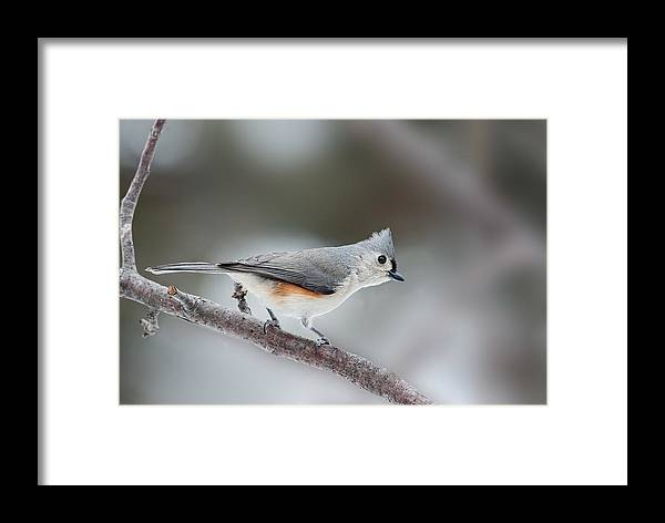Titmouse Framed Print featuring the photograph Tufted Titmouse by Jim Zablotny