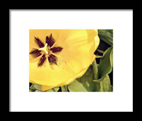 Tulip Framed Print featuring the photograph Tulip by Amanda Dunlap