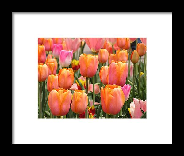 Tulip Framed Print featuring the photograph Tulip Bed by Julie Grandfield