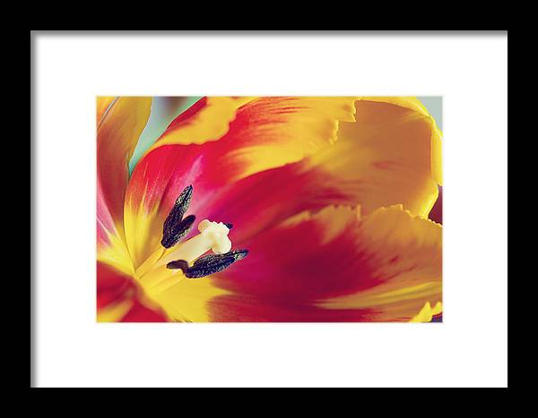 Tulpe Framed Print featuring the pyrography Tulip by Steffen Gierok