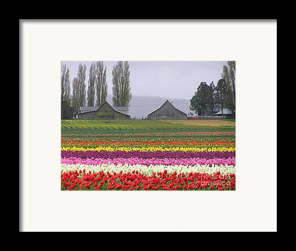 Tulips Framed Print featuring the photograph Tulip Town Barns by Louise Magno