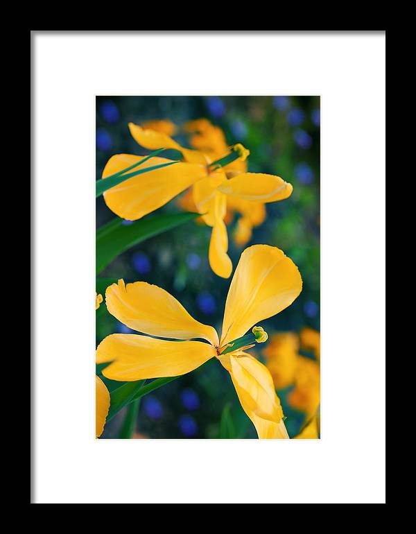 Tulips Framed Print featuring the photograph Tulips Yellow by Radka Linkova