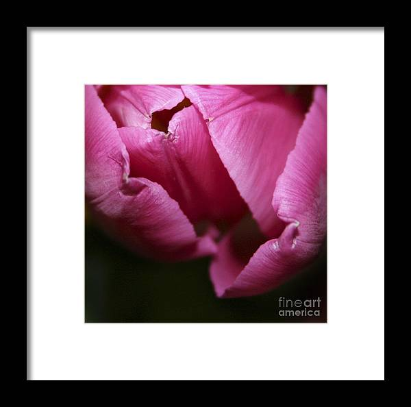 #tulip #nature Framed Print featuring the photograph Tulip 3 by Jacquelinemari