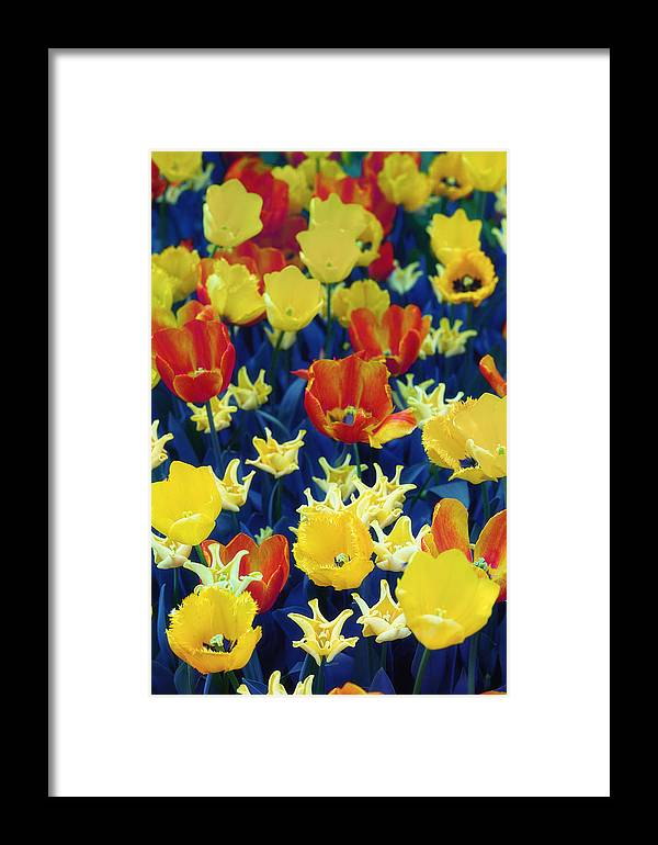 Tulips Framed Print featuring the photograph Tulips Blue by Radka Linkova