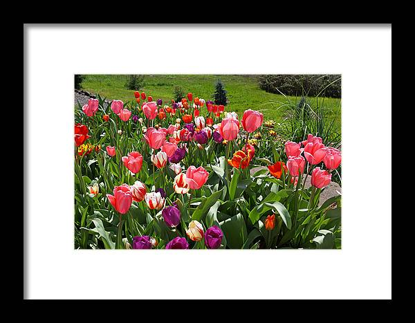 Red Framed Print featuring the photograph Tulips Garden Art Prints Colorful Spring Floral by Baslee Troutman