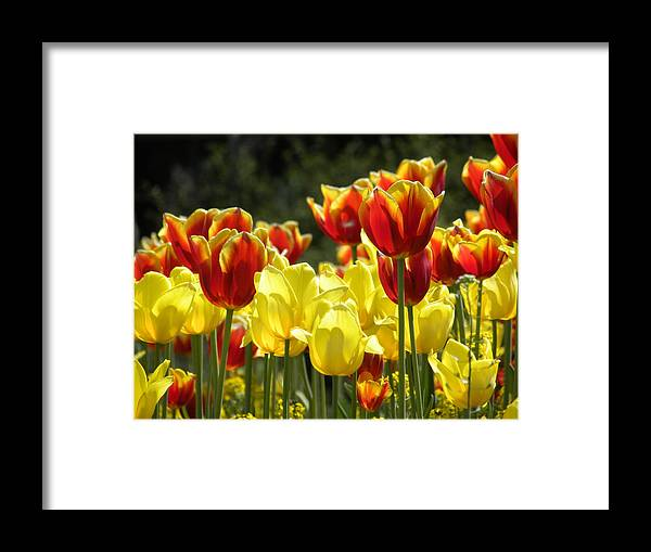 Tulips Framed Print featuring the photograph Tulips Of Germany by Jewels Hamrick