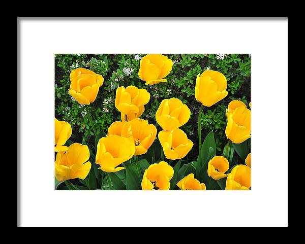Colorful Framed Print featuring the photograph Tulips. by Oscar Williams