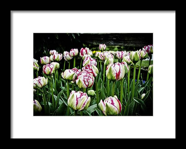 Tulips Framed Print featuring the photograph Tulips by Pam Headridge