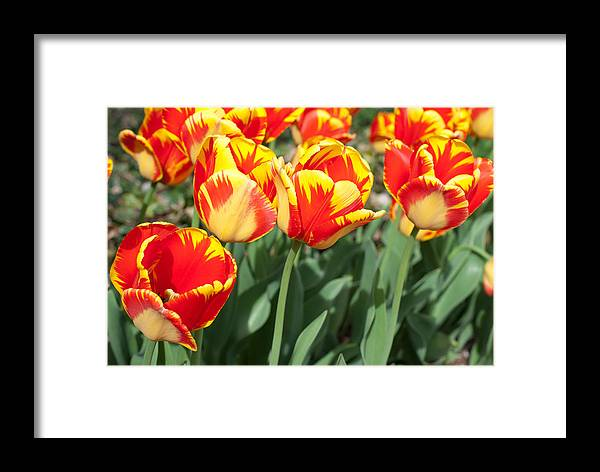 Tulips Framed Print featuring the photograph Tulips by Shelley Thomason