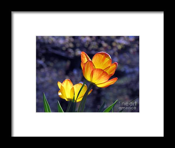 Flowers Framed Print featuring the photograph Tulips With Purple Bokeh by Lili Feinstein