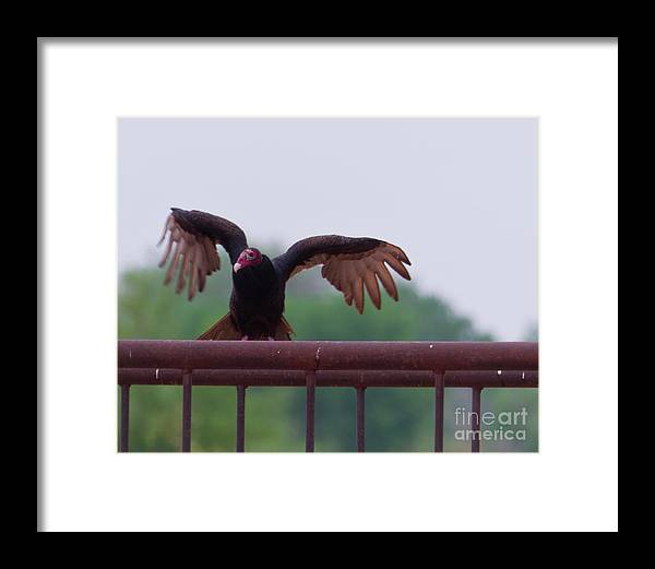 Wildlife Framed Print featuring the photograph Turkey Buzzard Landing by Terry Cotton