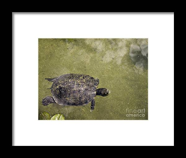 San Diego Framed Print featuring the photograph Turtle Dreaming by Brenda Kean