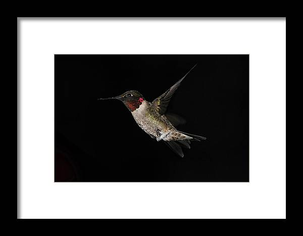 Hummingbird Framed Print featuring the photograph Twilight by Michael J Samuels