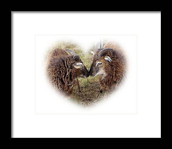 Ewe Framed Print featuring the photograph Twin Soays by Catherine Ali