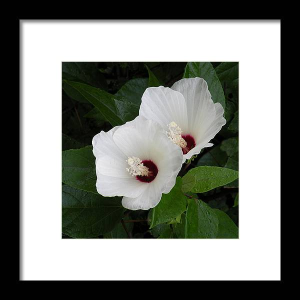 Twins White Swamp Rose Mallow Hibiscus Moscheutos Framed Print