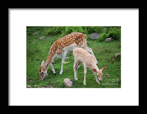 Deer Framed Print featuring the photograph Two Babes by Bianca Nadeau