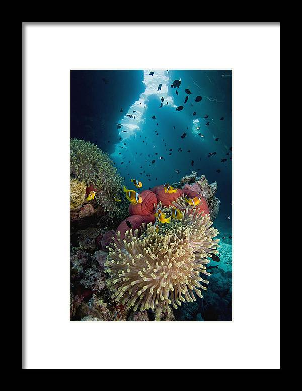 Nis Framed Print featuring the photograph Two-banded Anemonefish And Bulb by Dray van Beeck