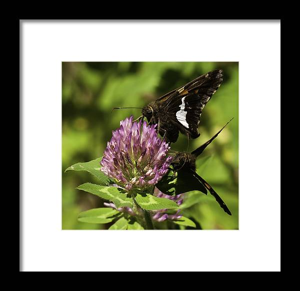 Silver-spotted Skipper Butterflies Framed Print featuring the photograph Two Beautiful Butterflies by Thomas Young