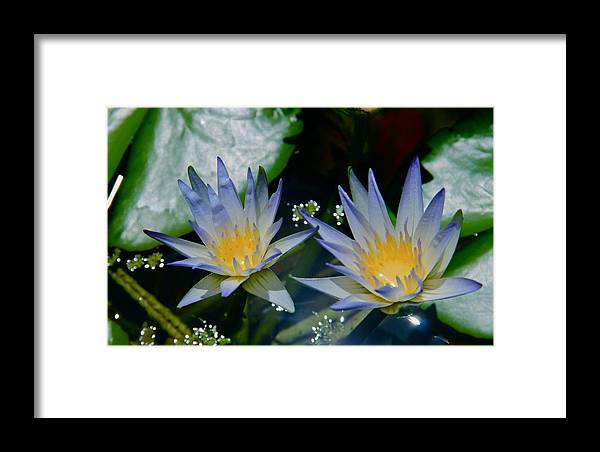 Water Lily Framed Print featuring the photograph Two Blue Water Lilies by Deanne Rotta
